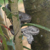 St. Lucian Boa Constrictor