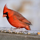 Norther Cardinal - male