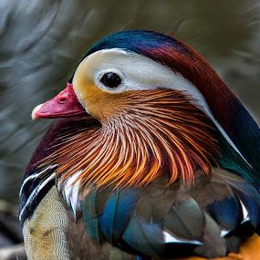 Mandarin at Lakes Edge by David Hammond - Animals Birds ( headshot, colorful, mandarin, duck, birds, portrait,  )