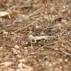 Greater Earless Lizard
