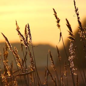 Gold by Cecilie Hansteensen - Landscapes Prairies, Meadows & Fields ( field, orange, fredrikstad, winter, cold, blue, gold, landscape, corn, norway,  )
