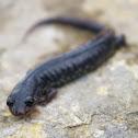 Western Slimy Salamander