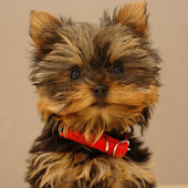 YORKSHIRE TERRIER SLIDESHOW