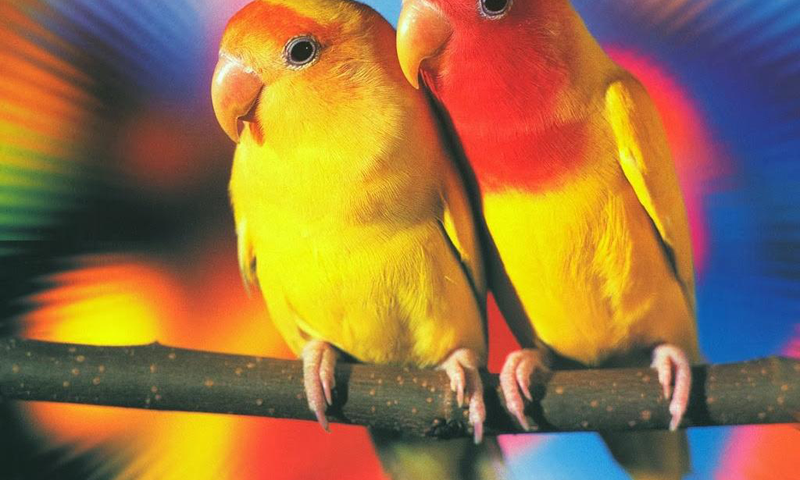 Love Birds Wallpapers - screenshot