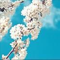 Galaxy sakura live wallpaper icon