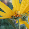 Whitebanded Crab Spider