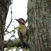 Green-barred woodpecker (Pájaro carpintero real)
