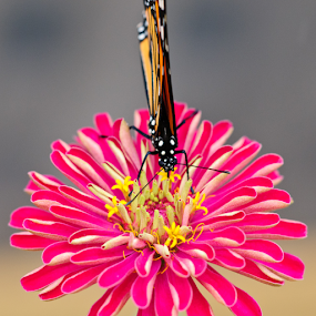 Colorful by Eladio Gomes - Animals Insects & Spiders ( colors, pink, buterfly, square, flower, animal, butterfy )