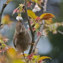 Melodious Laughingthrush