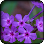 Violet Flowers Wallpapers