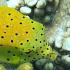 Polka-dot boxfish (juvenile)