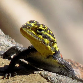 The Lizared by Kleintjie Loots - Animals Reptiles (  )