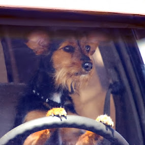 Driving by Krys George - Uncategorized All Uncategorized ( car, drivng, dog portrait, dog portraits, travel, dog,  )