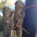Grasshopper species (mating)