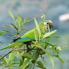 Peach-fronted Parakeet (periquito-rei)