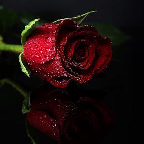 red rose XI by Almas Bavcic - Flowers Single Flower
