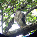 Puerto Rican Sharp-shinned Hawk