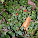 Partridge Berry Plant