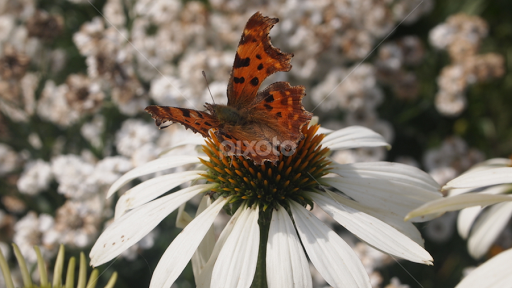 Butterfly by Katherine Carruthers - Flowers Single Flower ( butterfly, detail, unedited, daisy