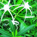 Swamp Spider Lily