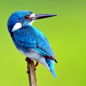 Small Blue Kingfisher  by Andi Albayquni - Animals Birds