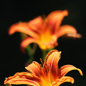 Summer flame by Katsuhiro Kaneko - Flowers Flower Buds ( canon, fire lilly, flora, manhattan, new york, nyc, ny, central park, orange lilly, eos, summer, new york city, flower, floral, lilly,  )