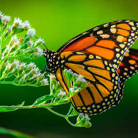 Butterflies are free by Cindy Hartman - Animals Other ( butterfly, butterflies, md, kenilworth, maryland, flower,  )