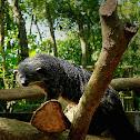 Palawan Bearcat