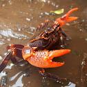 Potamid Crab