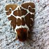 Great Tiger Moth (Garden Tiger Moth)