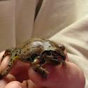 Strekers chorus frog