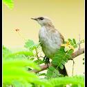 Yellow-vented Bulbul (juvenile)