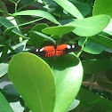 Doris' Longwing