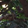 Indian bird - thavattu pura