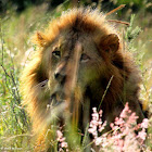 Lion, hiding in grass