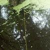 Golden silk orb-weaver web
