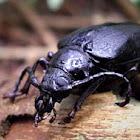 Ground Beetle (unidentified)
