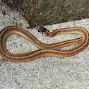 Brown Snake (juvenile)