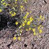 Prairie zinnia