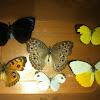 Common butterflies of my area