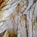 Petrified Sequoia