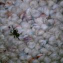 Audax spider