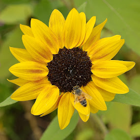 Sunflower And Friend by Ed Hanson - Flowers Single Flower ( bee, yellow, close-up, flower )