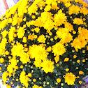 Yellow Chrysanthemium
