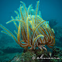 Noble Yellow Feather star