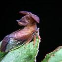 Mitred treehopper