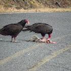 turkey vulture on possum