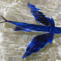 Tropical two-wing flyingfish