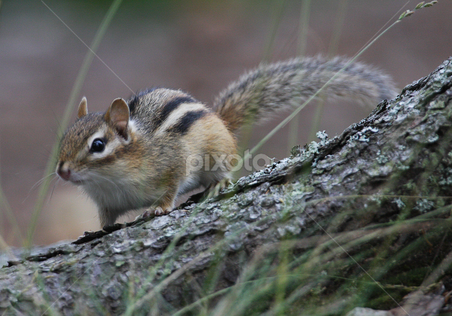 Chipmonk Maine Campsite Guest by Jim Powell - Animals Other Mammals