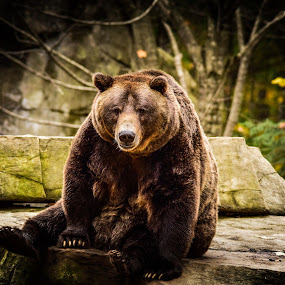 Lazy Bear by Jon Kowal - Animals Other Mammals